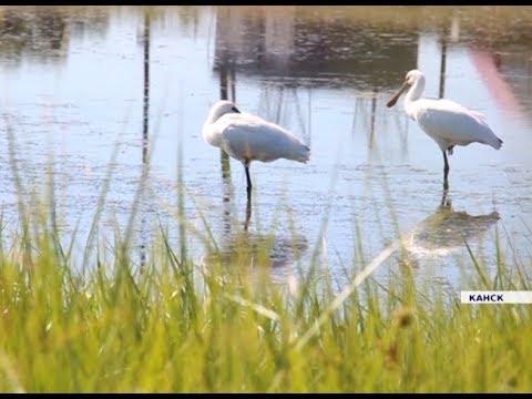 Редкие птицы, занесённые в Красную книгу, прилетели в Канск