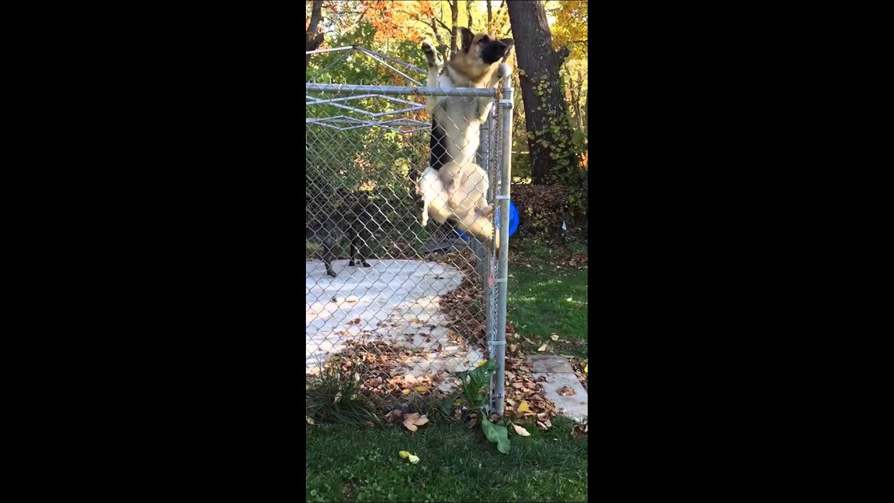 German Shepard Jumps 6ft Fence Youtube