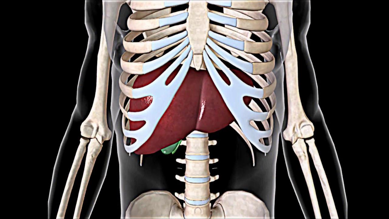 Anatomía del hígado humano - YouTube
