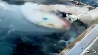 great white shark attacks australian fishing boat