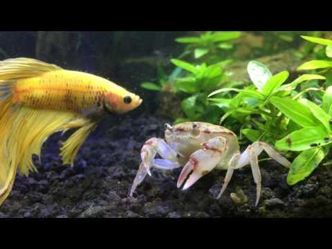 Betta Meeting New Freshwater crab