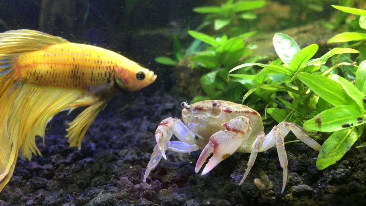 Betta Meeting New Freshwater Crab Youtube
