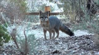 Gray Fox at the Devil