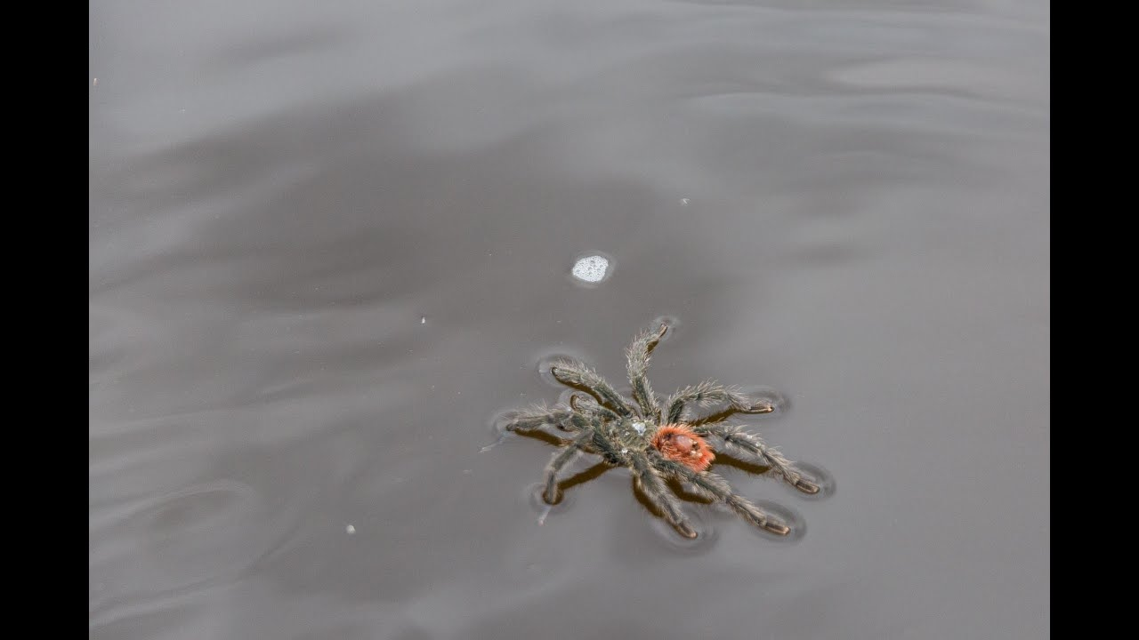 Tarantula Seen Swimming On River In Texas Country Music Family