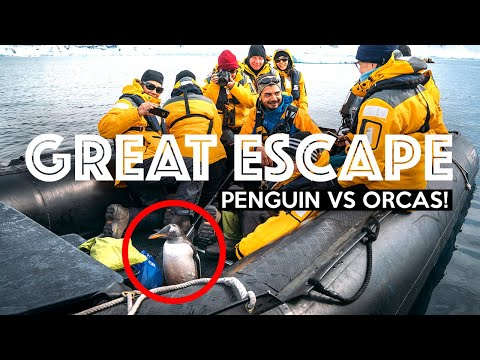 PENGUIN ESCAPES KILLER WHALES (By Jumping Onto Boat!) | Antarctica