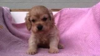 2011年11月19日生まれのアメリカン コッカースパニエルです。 男の子です。