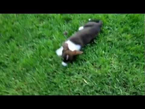 cute-puppy-fos'-bark-(cardigan-welsh-corgi;-8-weeks-old,-2nd-day-in-new-home)
