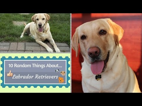 10 Random Things About...Labrador Retrievers