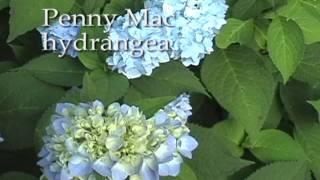 Hydrangeas- Meadows Farms Landscaping