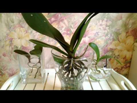 Орхидея в открытой системе(содержание в воде с просушкой). Состояние на данный период.
