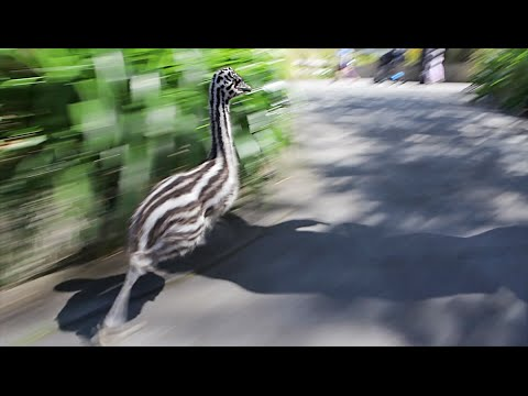 This Baby Emu has some serious speed