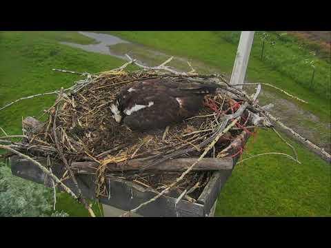 Osprey Nest - Charlo Montana Cam 06-13-2017 18:10:53 - 19:10:53