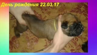 Продам Щенков Породы Боксер Родились Хвостики купированы Самые Популярные породы собак