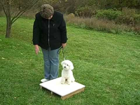 Dog Training Session 3 Week 3 with  Bichon Frise The 'Lost Tapes'