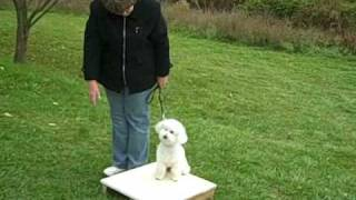 "Dog Training Session 3 Week 3 With  Bichon Frise The ""lost Tapes"""