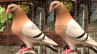 BEST and BIGGEST fancy pigeon breed in the WORLD collection|