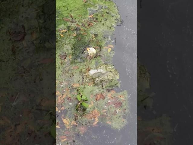 Patos Muertos en Mataleñas