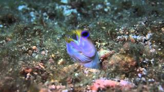 Yellow headed jaw fish with mouthful of eggs