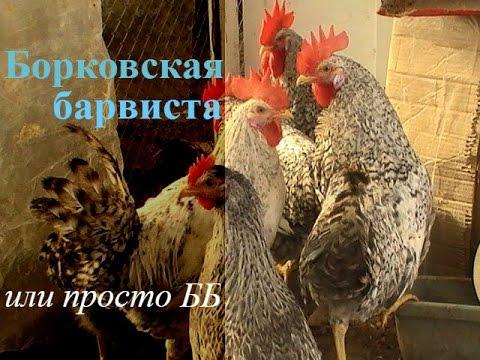 Куры Борковская барвиста.// Птица //Chickens borkovskaya colorful.