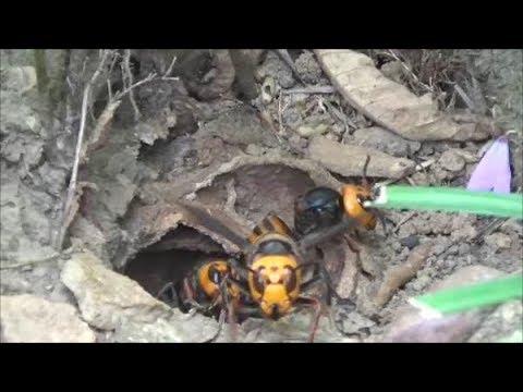 二本松市でスズメバチ駆除- オオスズメバチ駆除! 裏山の土手で!