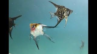 Глубокий Запушенный Костеоз у рыб