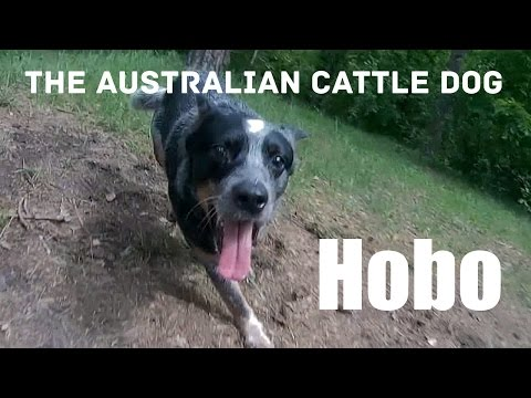 One day with Australian Cattle Dog Hobo