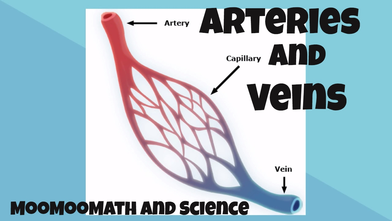 Arteries And Veins For Kids Youtube
