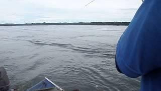 pescando uma piapara no rio parana em paulicéia 14/03/2013
