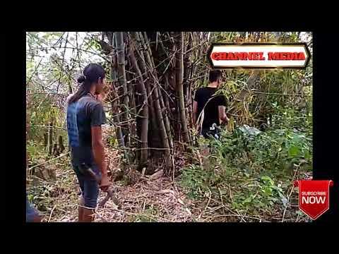 Proses Pengambilan Pring Petuk/Bambu Ketemu Ruas