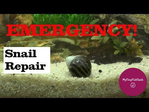 EMERGENCY Snail Shell REPAIR!! How To Repair A Snail Shell-Tutorial