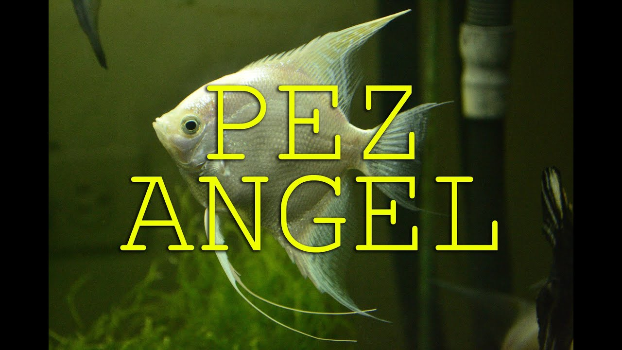 PEZ ANGEL - YouTube