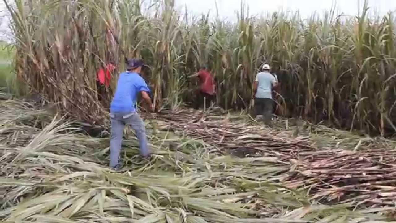 How to Harvest Sugar Cane