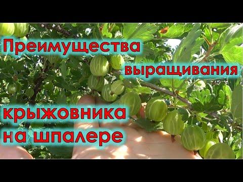 Преимущества выращивания крыжовника на шпалере