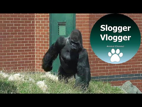 Big Silverback Gorillas Shows Everyone Who's Boss