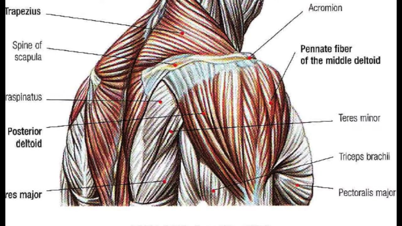 BodyBuilding Anatomy SHOULDERS - YouTube