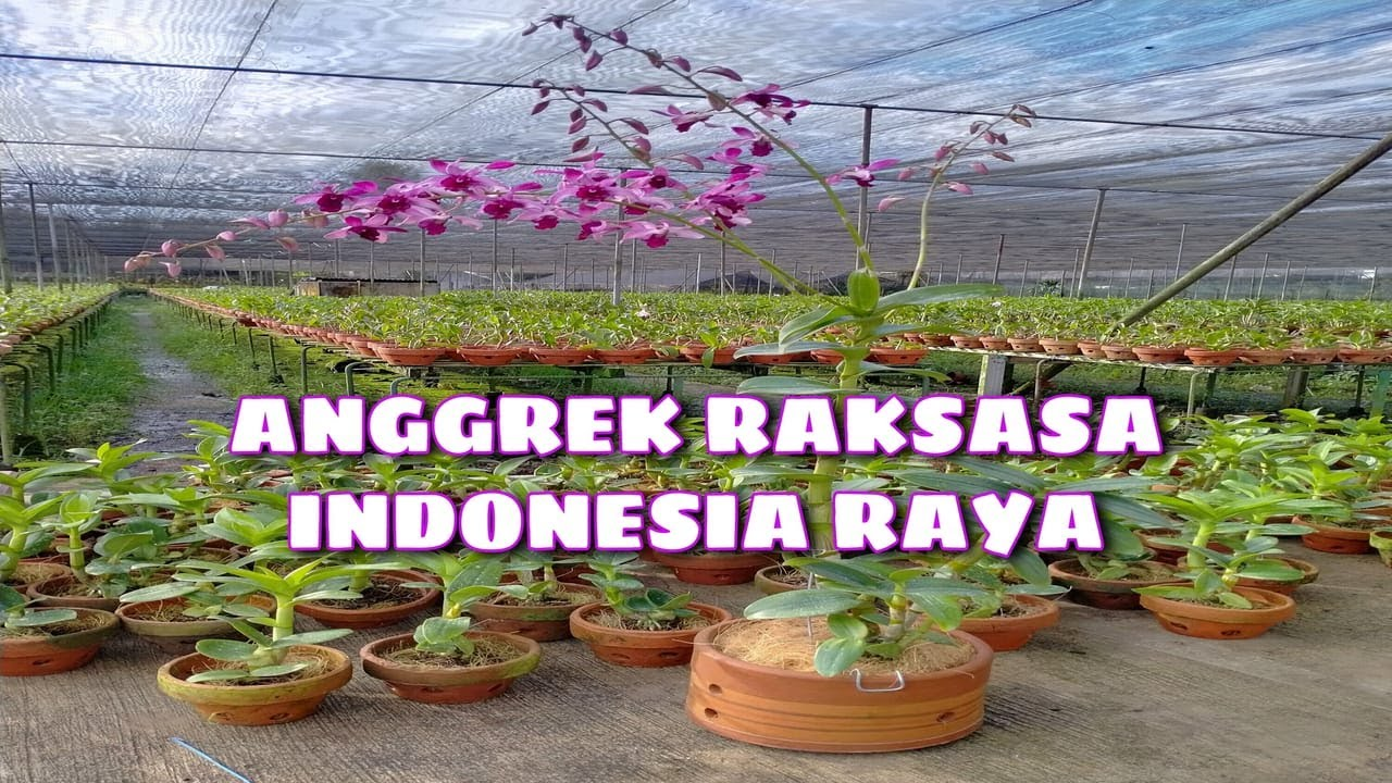 Anggrek Indonesia Raya Red godean.web.id