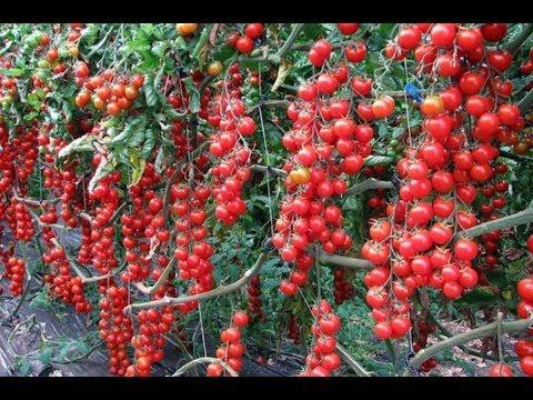 Вопрос: Как на огороде выращивать томаты черри Как вырастить черри на огороде?