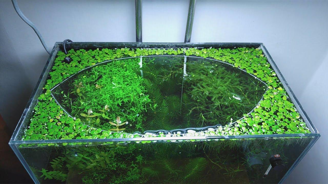 14th-month-the-baby-becomes-the-alpha-no-filter-no-co2-no-ferts-5-gallon-nano-tank