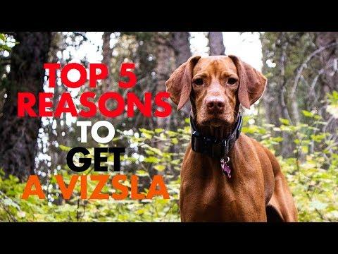 Top 5 Reasons to Get a Vizsla | Video 122