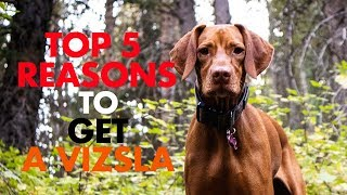 Top 5 Reasons to Get a Vizsla | Video 122