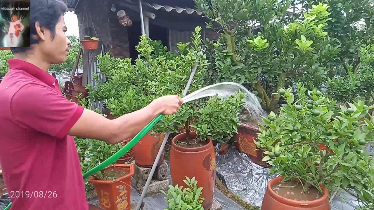 Cách chăm sóc cây quất bonsai   Làm cây quất cảnh chum chơi tết