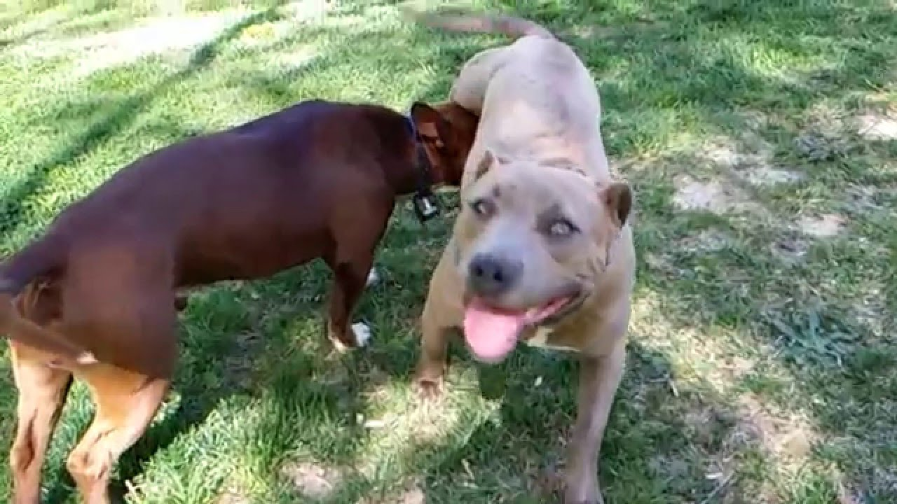 Pit Bull Breeds - Get the real facts here!