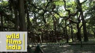 More than 250 year old Great Banyan tree in Kolkata