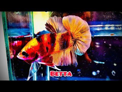 Phân biệt cá Betta và những hình ảnh đẹp mùa Covid   chia sẻ kinh nghiệm nuôi cá Betta