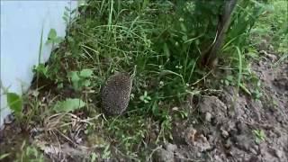 Обыкновенный ежик. Забавные животные Подмосковья. Hedgehog.