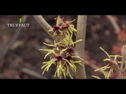 Hamam lis arbuste surprenant floraison hivernale - Arbuste a floraison hivernale ...