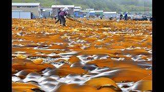 美しきにっぽん 「短い夏の始まりを告げる コンブ漁」 北海道厚岸町