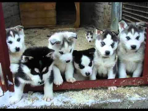 White Siberian Husky Puppies | Siberian Husky Dog Breed Pictures