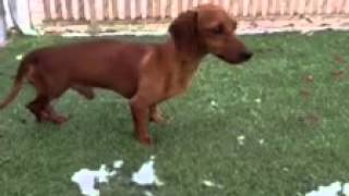 Special Needs Dachshund Needs Rescue!!