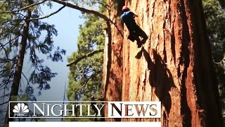 california s ancient sequoias threatened by record drought   nbc nightly news
